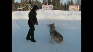 Wolf dog Dean