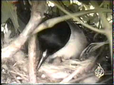 طائر يضع بيضه في عش غيره ثم أنظر ماذا سيحدث