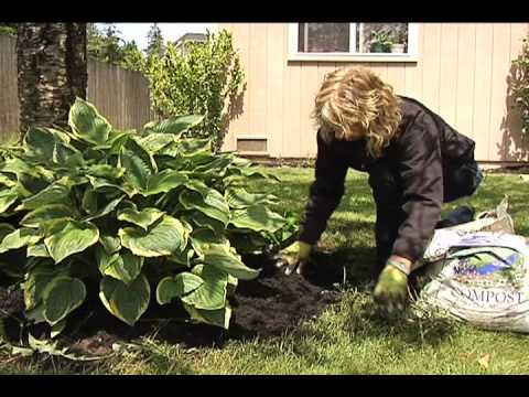 Using Compost to Top Dress a Hosta and Other Landscaping