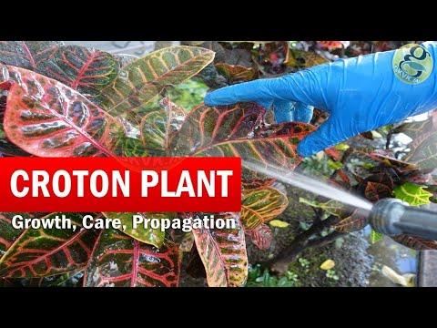 How to Grow Croton Plant | Croton plant care | Codiaeum variegatum Botany, Growth Care Video English