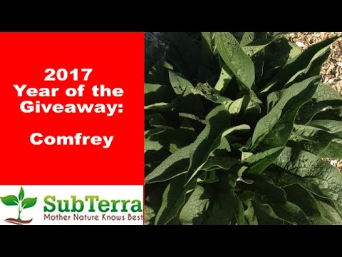 5+ Reasons why Comfrey is a Necessity on the Homestead ** Giveaway **