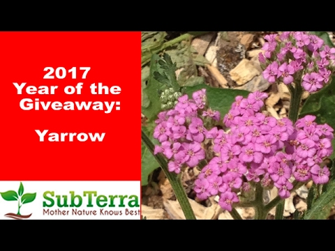 Yarrow (Achillea Millefolium) For the Organic Garden and Homestead ** Giveaway **