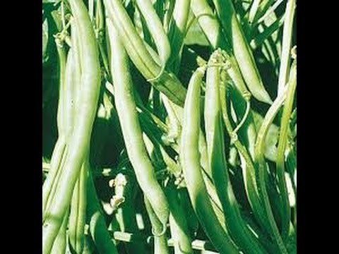 Best Cucumbers and Green Beans to grow in hot, humid and rainy climates