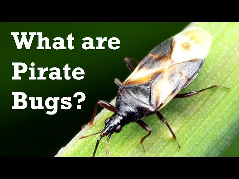 What are Pirate Bugs