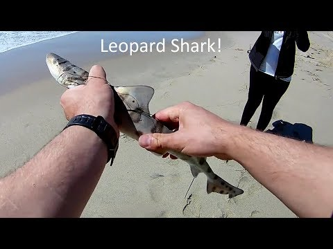 Leopard Shark Caught While Surf Fishing