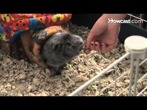 How to Care for a Pet Guinea Pig