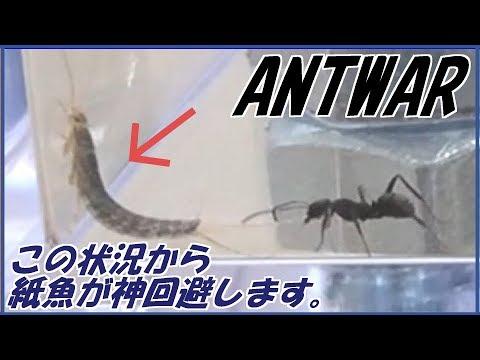 蟻戦争Ⅱ#12 「紙魚」って、読めますか?クロヤマアリvs紙魚編~ant vs silverfish~