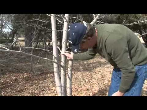 How to Prune Multi-Stem Trees