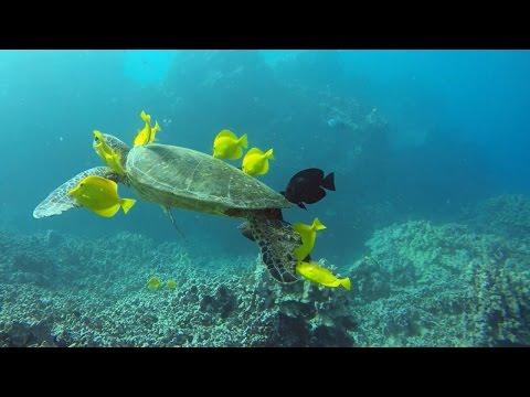 Fish Help To Clean Dirty Sea Turtles