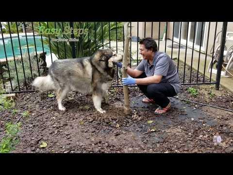 Sheru Alaskan Malamute Digging Tree Roots | Dog Digging Tree Roots