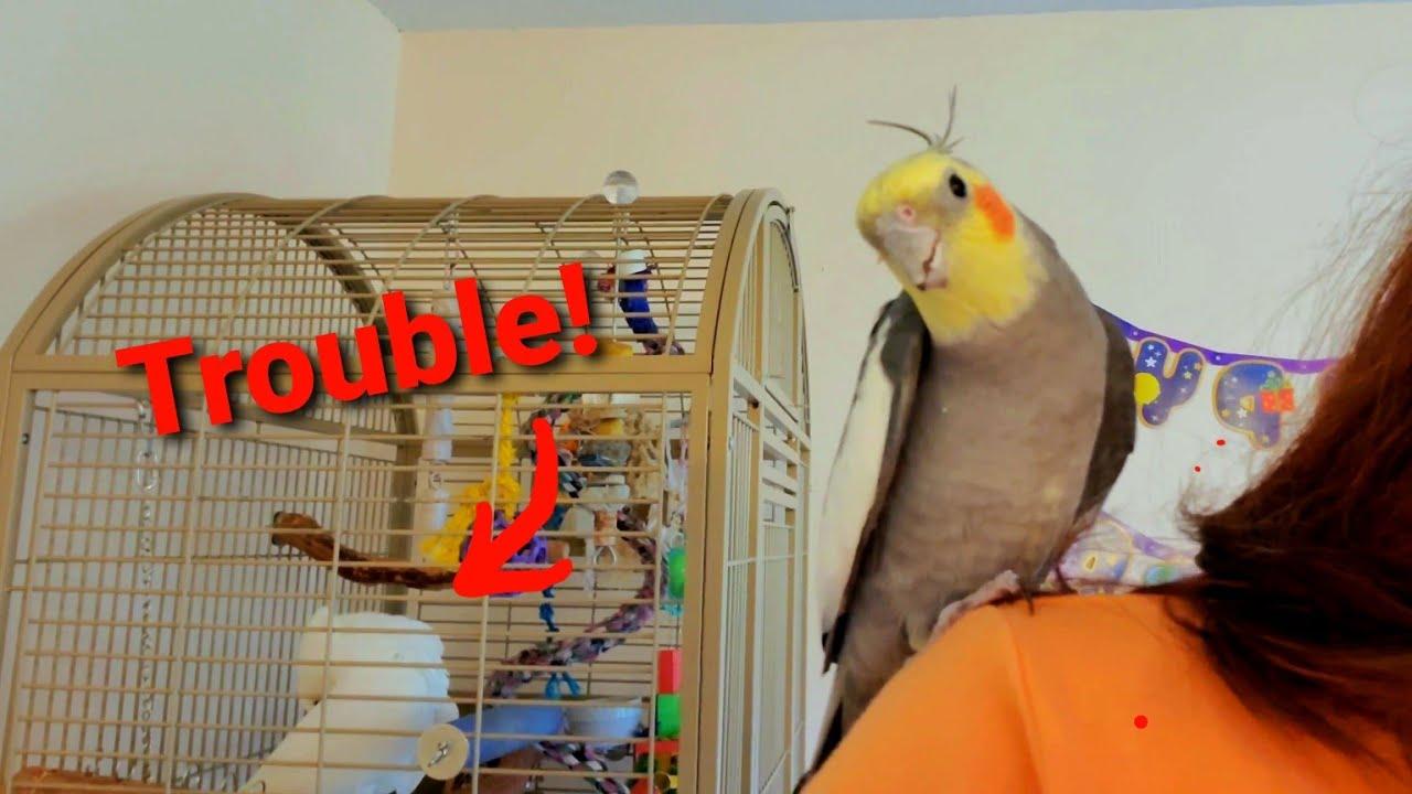 A Mini-too Helper and a Jealous Onni Cockatoo