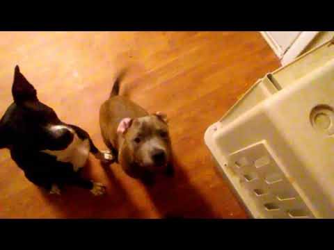 Pit bull puppy weight gain method