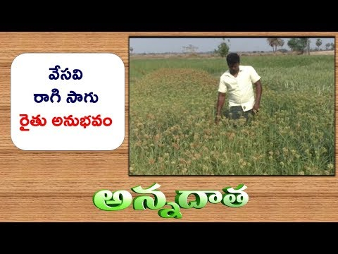 Good Yields From Summer Ragi Finger Millet by Srikakulam Farmer || ETV Annadata