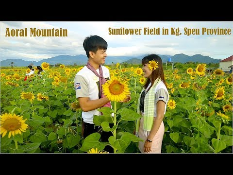 Good Morning from Chreav Area in Kampong Speu Province | Beautiful Sunflower Field in Cambodia