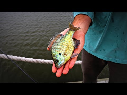 Fishing with Live Bluegills!!
