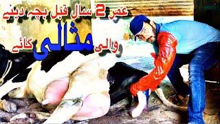 ُعمر 2 سال سے  پہلے بچہ دینے والی مثالی گائے بمع ثبوت