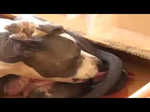 Blue Nose pitbull On Labor