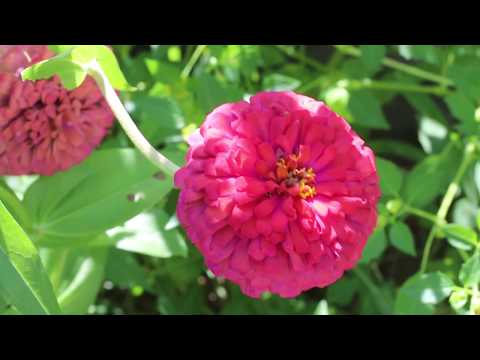 Garden Bites - Zinnia Seed Collecting 7/12/17