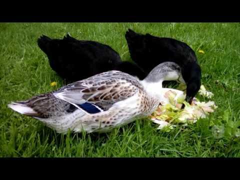 20. Ducks Eating Lettuce