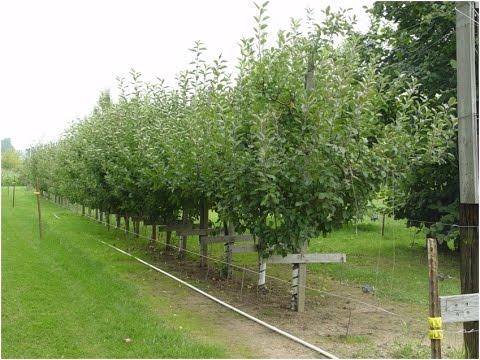 Pruning A Mature Dwarf Apple