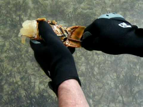 How to clean a Florida lobster by Capt. Mike Ortego the Florida Fisherman