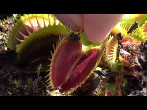 Feeding my pet Venus Flytrap