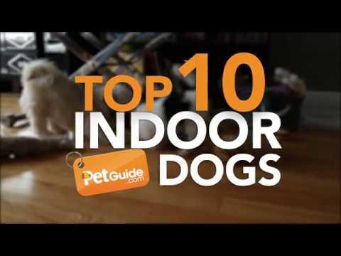 Top 10 Best Indoor Dogs