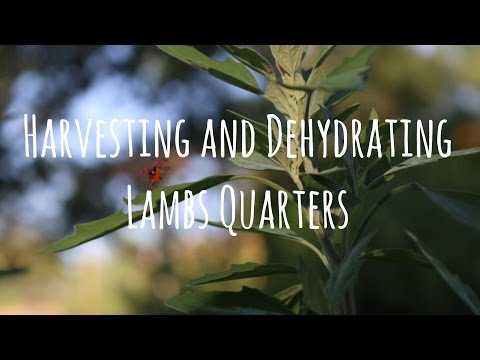 How To Dehydrate Lambs Quarters