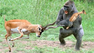 Gorilla Hunt Baby Impala, Mother Impala Too Angry Take Down Gorilla To Save Baby – Cheetah vs Lion