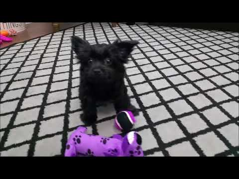 Morkie Puppies for sale in Florida - Tampa - Miami - Orlando - Sarasota - Ft. Myers - St. Pete