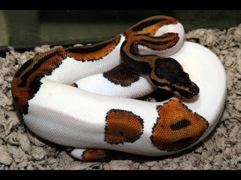 Ball Python Insanity : SnakeBytesTV