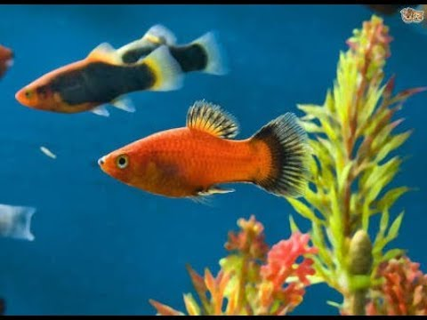 How to breed aquarium fish easily in home tips Hindi urdu