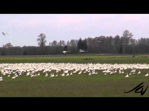 Unbelievable Encounter with Nature - Snow Geese and Bald Eagle