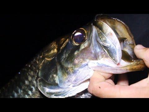 Juvenile Tarpon Fishing!