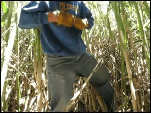 Harvesting California Bagpipe Cane (Arundo Donax)