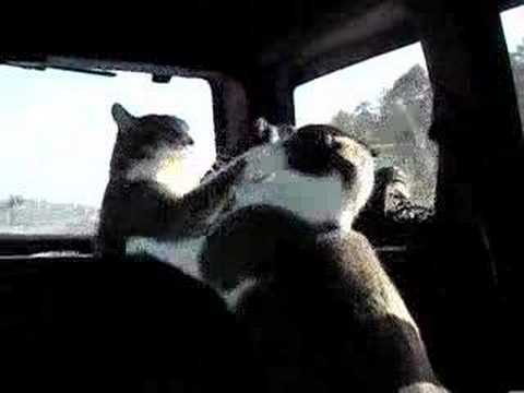 Cats in car