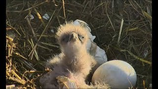 Sauces Channel Islands Eagle Cam ~ 2nd Hatch & Cuteness Galore! 3.14.18