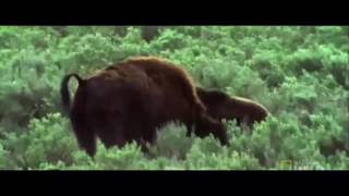 Download Bear Chasing Bison Bear Vs Bison Grizzly Bear Vs Bison new Video