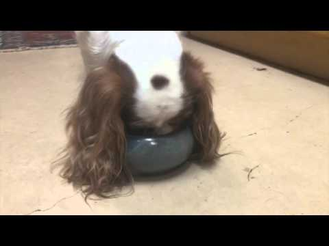 Cavalier Spaniel Bowls Keep Long Ears Clean