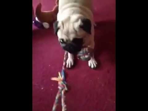 way to win tug of war with my pug! lol!