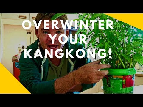 How to Overwinter Kangkong Plants Asian Spinach