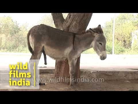 Xxx Mp4 A Pair Of Donkeys On An Indian Street 3gp Sex