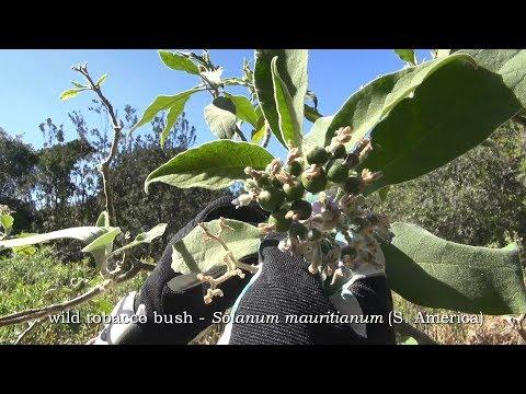 TOBACCO BUSH - using exotics as restoration nurse crops.