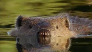 Attenborough: Beaver Lodge Construction Squad | BBC Earth