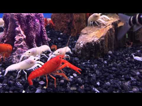 Local Fish Store various aquariums. fresh water crayfish squaring off with tank mate.