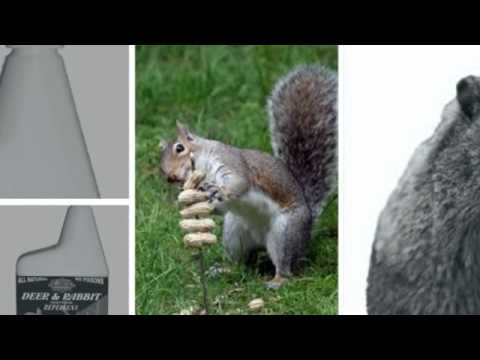how to catch a squirrel in your house
