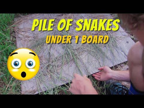 12 Snakes under one board?