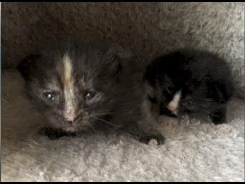 5 Baby Kittens In A Tent, Fig Gets A New Bed & Scaring Mom - #9 - Feral Cat Family Socialization