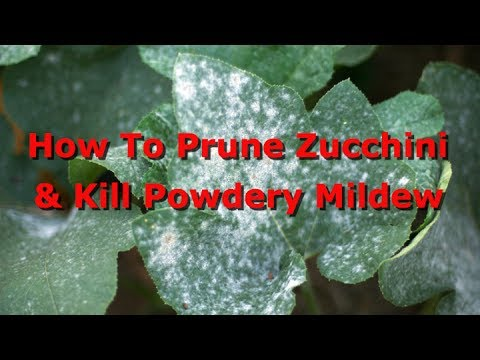 How To Prune Zucchini And Treat Powdery Mildew