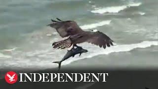 Huge bird of prey catches shark-like fish on beach